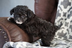 Poodle (Toy) Puppy For Sale in FREDERICKSBURG, Ohio,