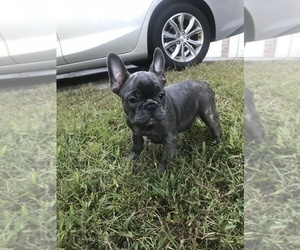 French Bulldog Puppy for Sale in ELLENWOOD, Georgia USA