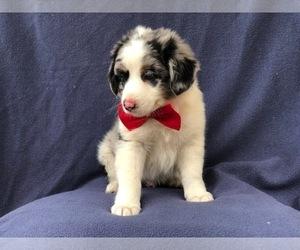 Australian Shepherd Puppy for sale in LAKELAND, FL, USA