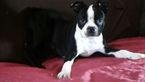 Boston Terrier Puppy For Sale in SAN DIEGO, CA