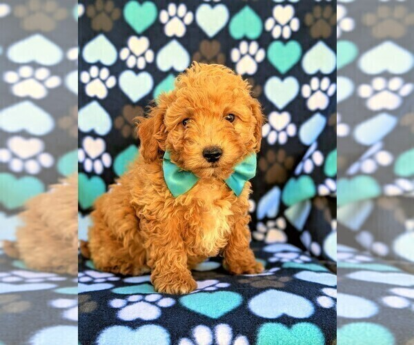 Medium Photo #3 Goldendoodle Puppy For Sale in LEOLA, PA, USA