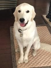 Golden Retriever Puppy For Sale in HOUSTON, TX, USA