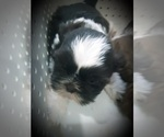 Small Photo #7 Shih Tzu Puppy For Sale in OTTAWA, OH, USA