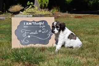 Poodle (Standard) Puppy For Sale in ARLINGTON, WA, USA