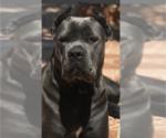 Cane Corso Puppy For Sale in MIAMI, FL, USA