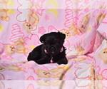 Puppy 2 Pug-A-Poo