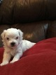 Maltese Puppy For Sale in HAMPTON, GA, USA