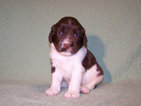 English Springer Spaniel Puppy For Sale in KILKENNY, MN, USA
