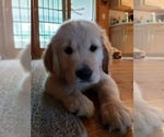 Golden Retriever Puppy For Sale in ARCHBALD, PA, USA
