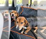 Small #15 Beagle Mix