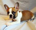 French Bulldog Puppy For Sale in ADRIAN, MI