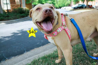 Princess - Pit Bull Terrier / Shar Pei / Mixed (short coat) Dog For Adoption
