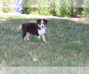 Miniature Australian Shepherd Puppy for Sale in BROCK, Texas USA
