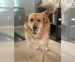 Small Akita-German Shepherd Dog Mix