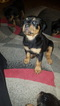 Rottweiler Puppy For Sale in TAMPA, FL