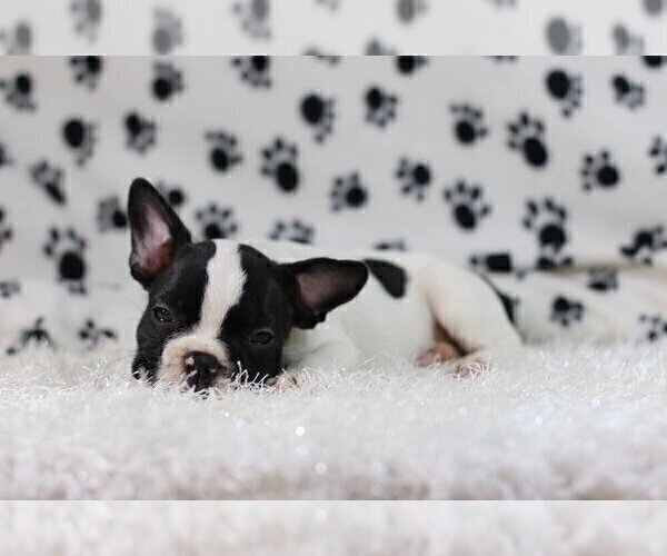 Medium Photo #3 French Bulldog Puppy For Sale in GLENVILLE, CT, USA