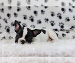 Small Photo #3 French Bulldog Puppy For Sale in GLENVILLE, CT, USA