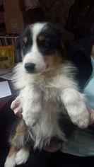Australian Shepherd Puppy For Sale in BUFFALO, NY