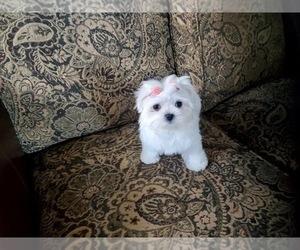 Maltese Puppy for Sale in SANTA CLARITA, California USA