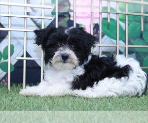 Maltese Dog for Adoption in MARIETTA, Georgia USA