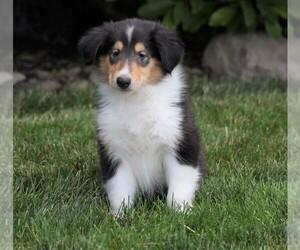 Collie Dog for Adoption in FREDERICKSBG, Ohio USA