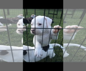 American Bulldog Puppy for sale in THOMPSONS STATION, TN, USA