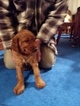 Irish Setter Male Puppy