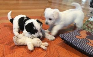 Schnese Puppy For Sale in GARNETT, KS, USA