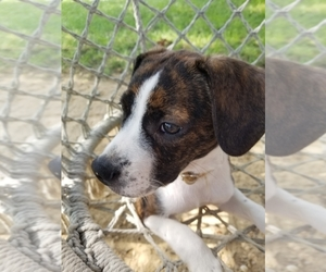 Boston Terrier-Unknown Mix Puppy for sale in BALTIMORE, MD, USA