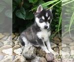 Small #7 Alaskan Klee Kai