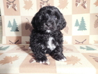 Bernedoodle Mini Puppy