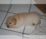 Small #7 Golden Retriever