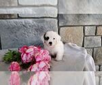 Small #1 Poodle (Miniature)-Saint Bernard Mix