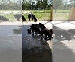 Small #51 Rottweiler