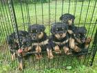 Rottweiler Puppy For Sale in WILLINGTON, CT, USA