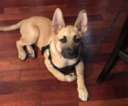 German Shepherd Dog-Unknown Mix Dog For Adoption in RENO, NV, USA