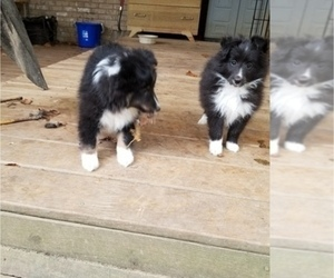 Shetland Sheepdog Puppy for sale in MOUNT WASHINGTON, KY, USA