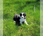 Puppy 6 Border Collie