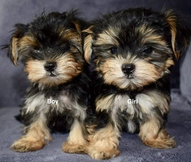 Puppyfinder com: Morkie puppies puppies for sale near me in