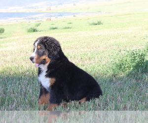 Bernese Mountain Dog Puppy for sale in WESTCLIFFE, CO, USA