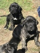 Fila Brasileiro Puppy For Sale in ADA, OK, USA