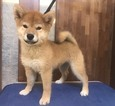 Shiba Inu Puppy For Sale near 94159, San Francisco, CA, USA
