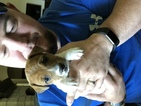 Jack Russell Terrier Puppy For Sale in OKLAHOMA CITY, Oklahoma,