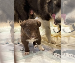Border Collie Puppy for sale in NEW WINDSOR, MD, USA