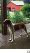 Brittany Puppy For Sale in ANGOLA, IN, USA