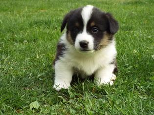 Pembroke Welsh Corgi Puppy For Sale in KINGSTON, NY, USA