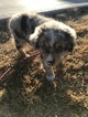 Miniature Australian Shepherd Puppy For Sale in RAVENWOOD, MO, USA