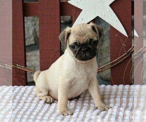 Pug Dog for Adoption in NARVON, Pennsylvania USA