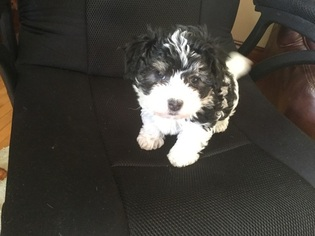 Havanese Puppy For Sale in HANSKA, MN