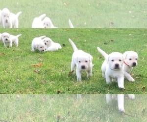 Labrador Retriever Puppy for Sale in KEEDYSVILLE, Maryland USA